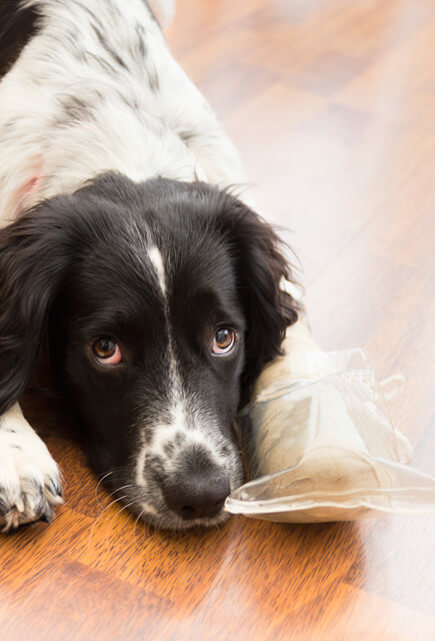 Border Collie in pain with broken paw